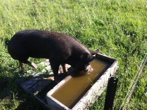 Hugh takes a drink from the trough.